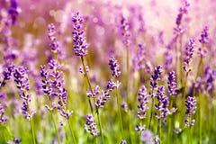 Lavender floral background Stock Images