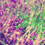 Lavender floral background Royalty Free Stock Photography