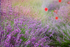 Lavender floral background sunlit. With some popies Royalty Free Stock Photography