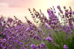 Lavender floral background sunlit. In summer Royalty Free Stock Photos