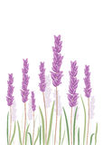 Lavender flovers isolated in white background. Royalty Free Stock Photography