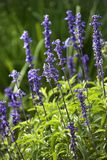 Lavender flower. Stock Images