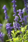 Lavender flower. Royalty Free Stock Photo