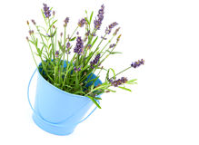 Lavender flower. Lavender in a blue bucket, isolated on white background Stock Photos