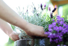 Lavender flower arrangement Stock Image