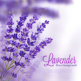 Lavender Flower Background Royalty Free Stock Image