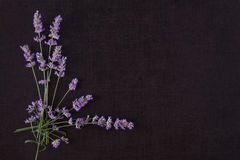 Lavender flower background. royalty free stock photo