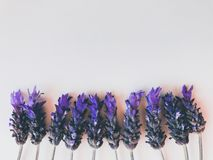 Lavender flower background with copy space royalty free stock photo