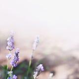 Lavender flower background Stock Photos