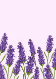 Lavender flower background Royalty Free Stock Photo