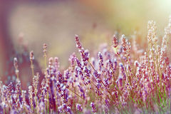 Lavender flower bathed with sunlight Royalty Free Stock Photography