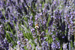 Lavender Flower. The beautiful lavender flowers with a bee laid on one of it, in Marseille Stock Image