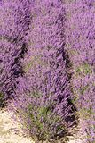 Lavender flower bed Royalty Free Stock Photography
