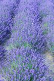 Lavender flower bed Royalty Free Stock Photo
