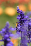 Lavender flower with bee Stock Photo