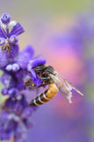 Lavender flower with bee Royalty Free Stock Images