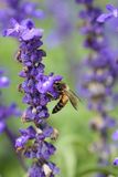 Lavender flower with bee Stock Image