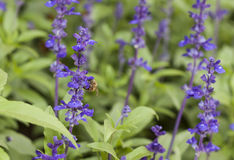 Lavender flower with bee in the garden.  Stock Images
