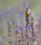 Lavender Flower With Bee Stock Photography