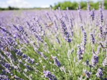 Closeup photo of lavender flowers with bees on it, in a summer time stock images
