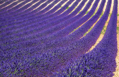 Lavender flower blooming fields as pattern or texture. Provence, Royalty Free Stock Photo