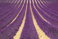 Lavender flower blooming fields as pattern or texture. Provence, Royalty Free Stock Photography