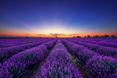 Lavender flower blooming fields in endless rows Royalty Free Stock Photography