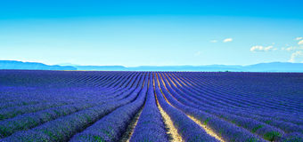 Lavender flower blooming fields endless rows. Panoramic view Val Royalty Free Stock Image