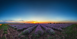 Lavender flower blooming fields in endless rows. Sunset shot. Lavender flower blooming fields in endless rows. Sunset shot stock image