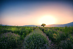 Lavender flower blooming fields in endless rows. Sunset shot. Royalty Free Stock Image