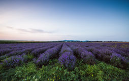 Lavender flower blooming fields in endless rows. Sunset shot. Royalty Free Stock Photos