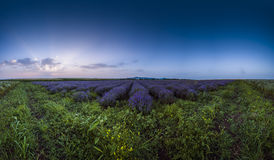Lavender flower blooming fields in endless rows. Sunset shot. Stock Image