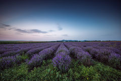 Lavender flower blooming fields in endless rows. Sunset shot. Stock Photos