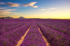 Lavender flower blooming fields endless rows on sunset. Valensol Stock Images
