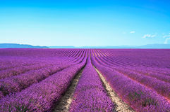 Lavender flower blooming fields endless rows. Valensole provence Royalty Free Stock Photo
