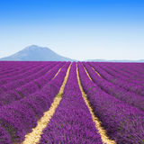 Lavender flower blooming fields endless rows. Valensole provence Stock Images