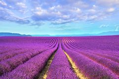 Lavender flower blooming fields endless rows. Valensole provence Stock Photography