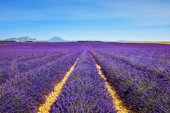 Lavender flower blooming fields endless rows. Valensole provence Royalty Free Stock Photography