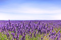 Lavender flower blooming fields horizon. Valensole Provence, Fra Stock Photos
