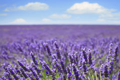 Lavender flower blooming fields horizon. Valensole Provence. Lavender flower blooming scented fields in endless rows and a blue cloud sky. Landscape in Valensole Royalty Free Stock Photo