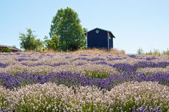 Lavender flower blooming scented field Royalty Free Stock Photos