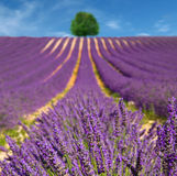 Lavender flower blooming scented fields Stock Photography