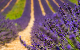 Lavender flower blooming scented fields in endless rows. Valenso Stock Photo