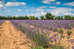 Lavender flower blooming scented fields in endless rows. Valensole plateau, provence, france, europe. stock photos