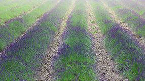 Lavender flower blooming scented fields in endless rows stock photography