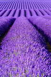 Lavender flower blooming scented fields in endless rows. Royalty Free Stock Photos