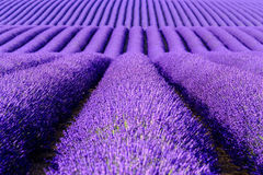 Lavender flower blooming scented fields in endless rows. Stock Images