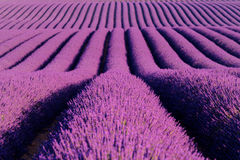 Lavender flower blooming scented fields in endless rows. Stock Image