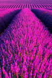 Lavender flower blooming scented fields in endless rows. Royalty Free Stock Photo