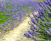 Lavender flower Stock Photography
